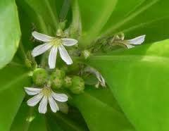 ナウパカの花
